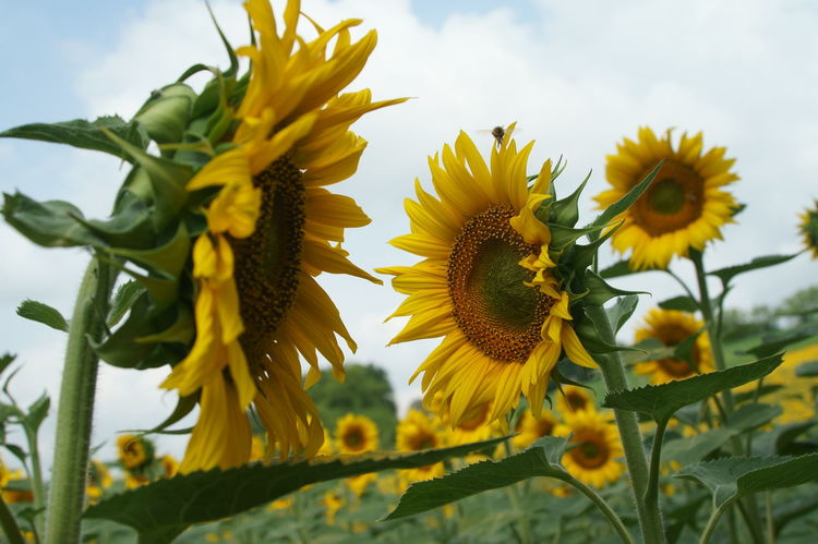 our sunflowers Campi Flowers Green Italy Landscape Märchen Orange Sunflower Yellow Yellow Flower