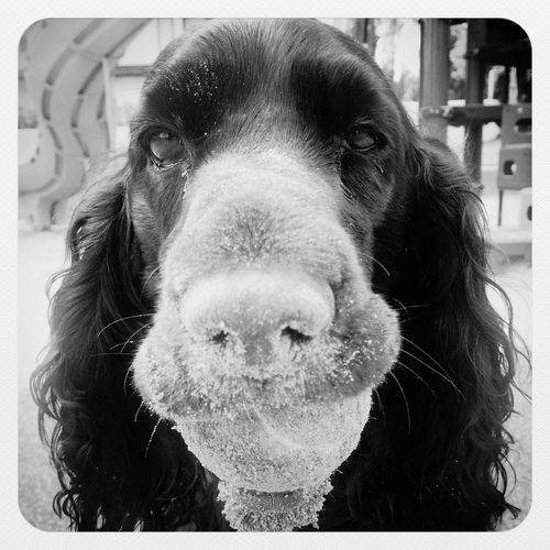 Dog Dogs IPhoneography Blackandwhite Black & White Spaniel Field Spaniel EyeEm Best Shots - Black + White IPSBlackWhite