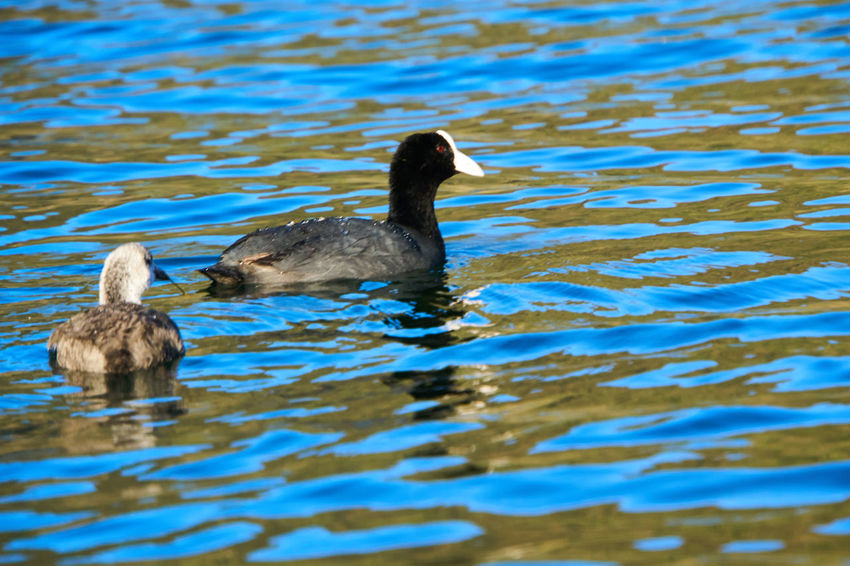 Silvery Grebe and duckling on Laguna Cuicocha Duck Duckling Swiming Ripples Lake Water Bird Animal Island Blue Sky Crater Fowl Waves Wilderness Wildlife Mother And Baby Follow Following Parenthood Parenting Goose Birding Birdwatching Water Reflections Lake View