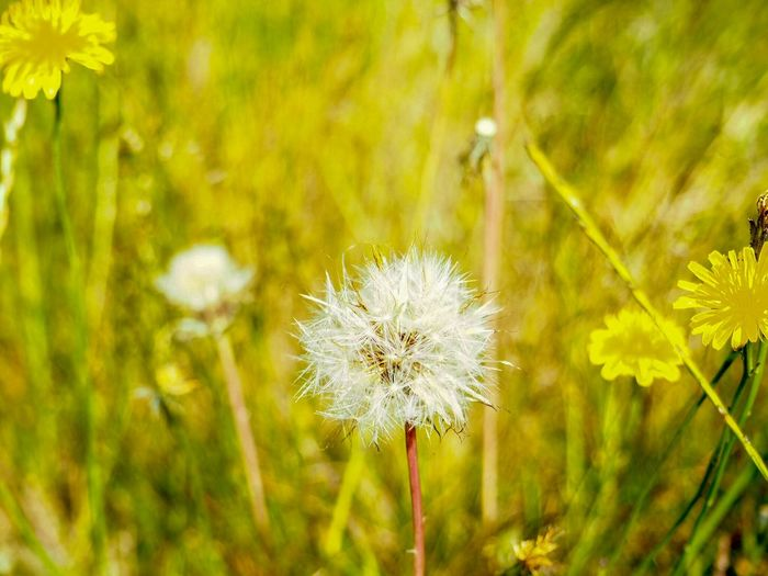 Dandelion Consciousness Yellow Nature Flower Flowering Plant Plant Fragility Vulnerability  Freshness Beauty In Nature Dandelion Growth Nature Inflorescence Focus On Foreground Flower Head Close-up No People Field Day Green Color Dandelion Seed Land