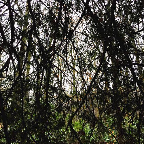 Yew Tree Yew The Dark Forest