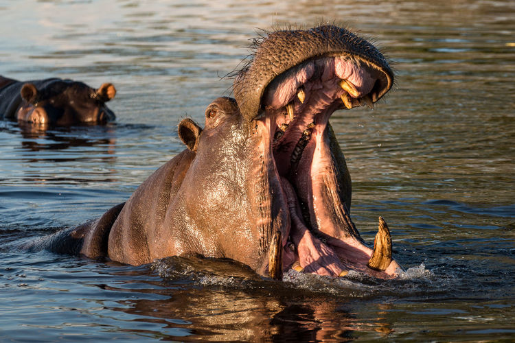 Hippopotamus With Open Mouth In Chobe River