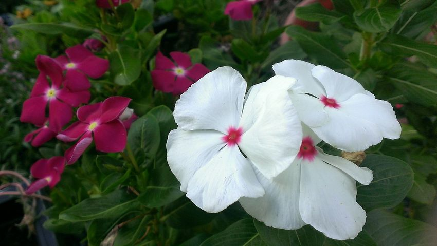 White and pink Vincas. Taking Photos Hello World Layering Flowers Andrography Nature Frommygarden