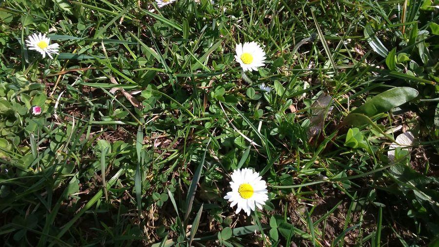 Stokrotki Daisy Daisy Flower Daisy 🌼 First Eyeem Photo