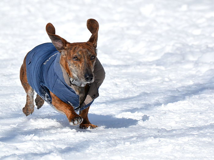 Snow One Animal Mammal Animal Pets Animal Themes Winter Domestic Animals Canine Domestic Cold Temperature Dog Vertebrate Nature Field Land Day Running No People