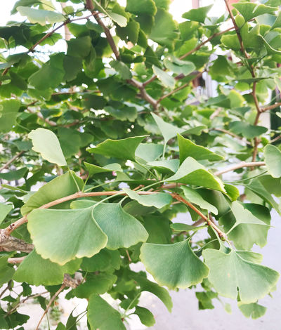 Ginkgo biloba Ginkgo Ginkgo Biloba Ginkgo Leaves Herb Tree Biloba Close-up Day Gingko Gingko Tree Ginkgo Leaf Ginkgo Tree Ginko Green Color Growth Leaf Maidenhair Tree Nature No People Outdoors Plant