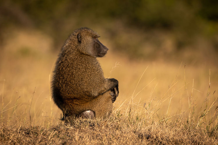 Olive baboon sits in profile in grass Africa Kenya Masai Mara Kicheche Savannah Savanna Animal Wildlife Nature Travel Safari Olive Baboon Papio Anubis Mammal Baboon Animal Wildlife Animals In The Wild One Animal No People Vertebrate Grass Plant Sitting Side View Day Land Profile View Field Full Length