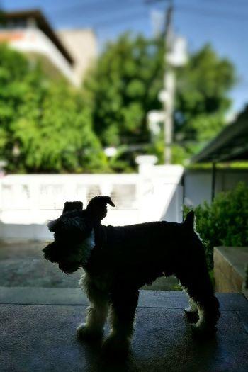 I'm chillin' on my weekend .. Baxtermydog Miniature Schnauzer Lovely Weekend Saturday Chill At Home