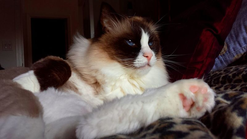Tufted Toes Cats Of EyeEm Blue Eyed Cat Paw Animal Head  Animal Themes Best Of EyeEm Blue Eyes Cat Art Cat Eyes CAT IN THE SUN Cat Model Close Up Color Contrast Contentment Domestic Cat Longhaired Cats One Animal Pets Purr-sonality Ragdoll Cat Seal Mitted Whiskers EyeEm Gallery Cat Photography