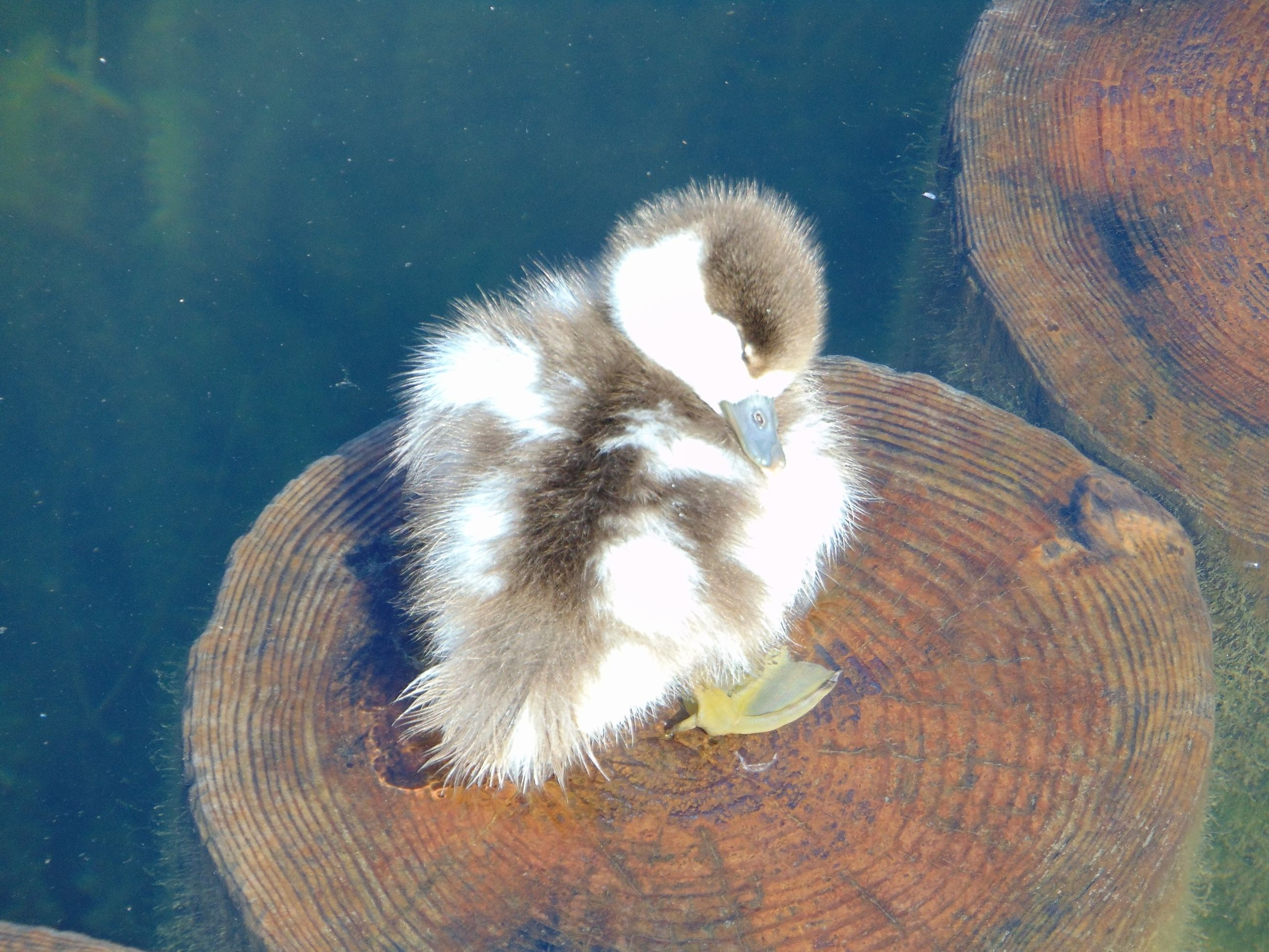 animal themes, animals in the wild, one animal, wildlife, water, swimming, lake, reflection, nature, high angle view, bird, close-up, waterfront, two animals, outdoors, no people, zoology, sea life, animals in captivity, duck