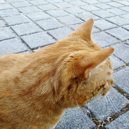 Cat Street Samsungj5photography📱 Animal Themes Red Cat Pets Dog Cobblestone Street Close-up Cat Domestic Cat