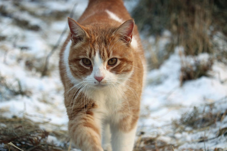 Close-Up Portrait Of Cat During Winter