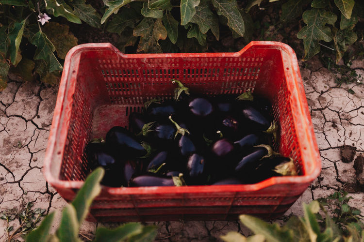 High angle view of eggplants in basket