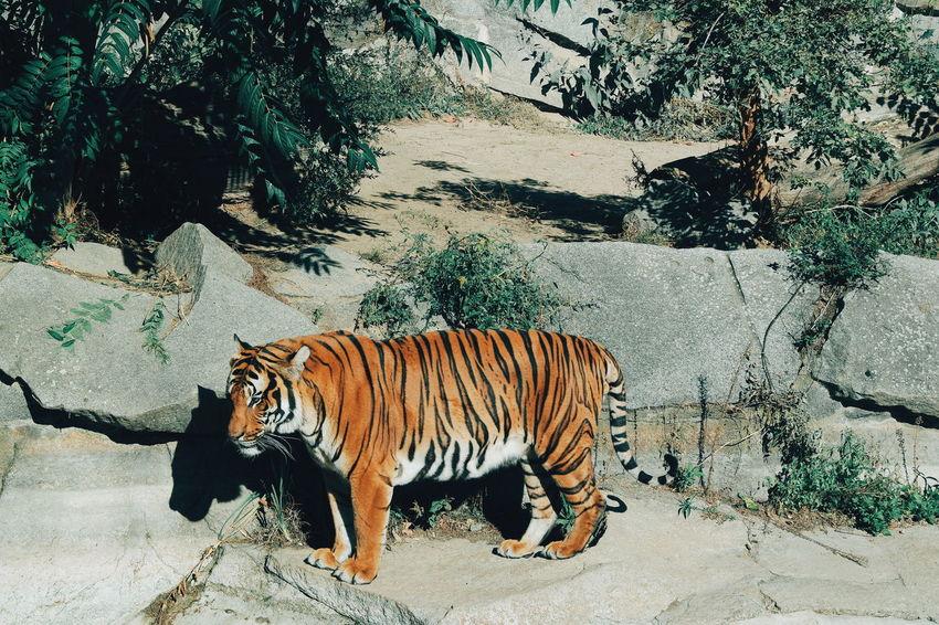 One Animal Animal Themes Domestic Animals Side View Zoology Safari Animals Outdoors Animal Nature Tiger