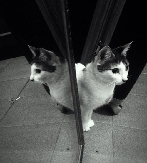 Monochrome Photography Cat Mirror Pets Love Lovely Cat Frida Twin