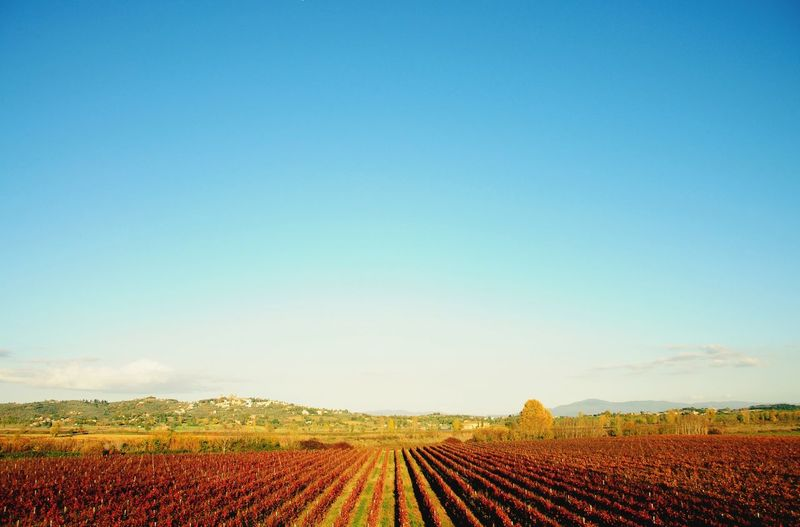 Scenic view of agricultural field against clear blue sky in florence.