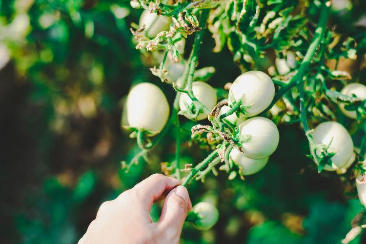 Close-up of hand holding tomato tree
