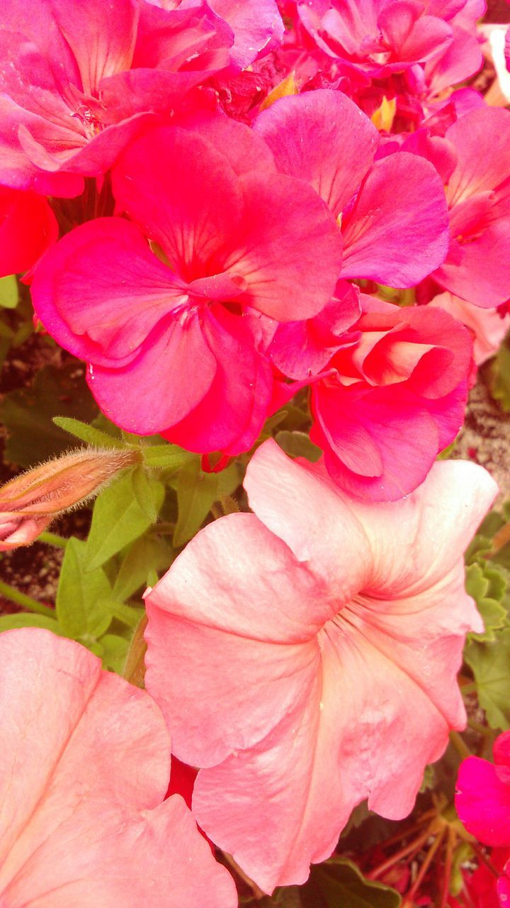 pink color, flower, nature, growth, outdoors, petal, no people, beauty in nature, plant, leaf, day, close-up, fragility, blooming, flower head, freshness, petunia