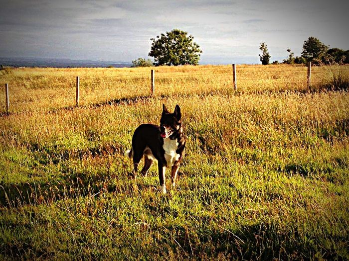 Day Domestic Animals Grass One Animal Field Animal Themes Dog Pets Black Color Grassy Mammal Landscape Growth Green Color Sky Rural Scene Tranquil Scene Akita Scenery Animals Animal Photography Outdoors Nature American Akita