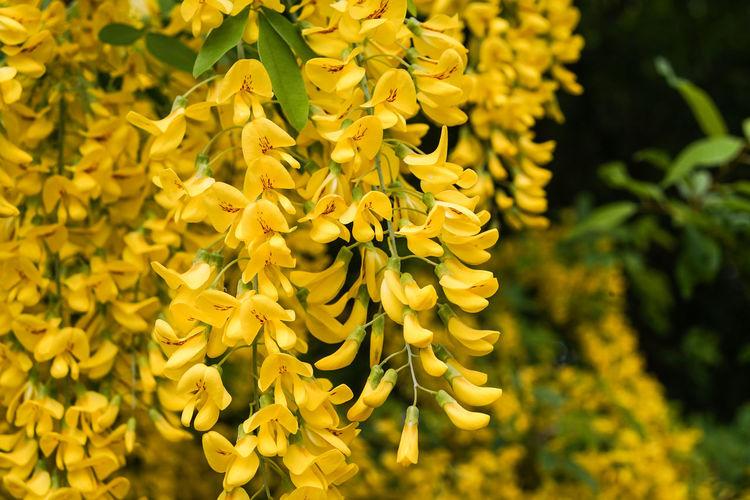Danger! Nature Near Us Tree Blossom Laburnum Tree, Spring Time, Blossum, Outdoor Experience Poison Yellow Flowers