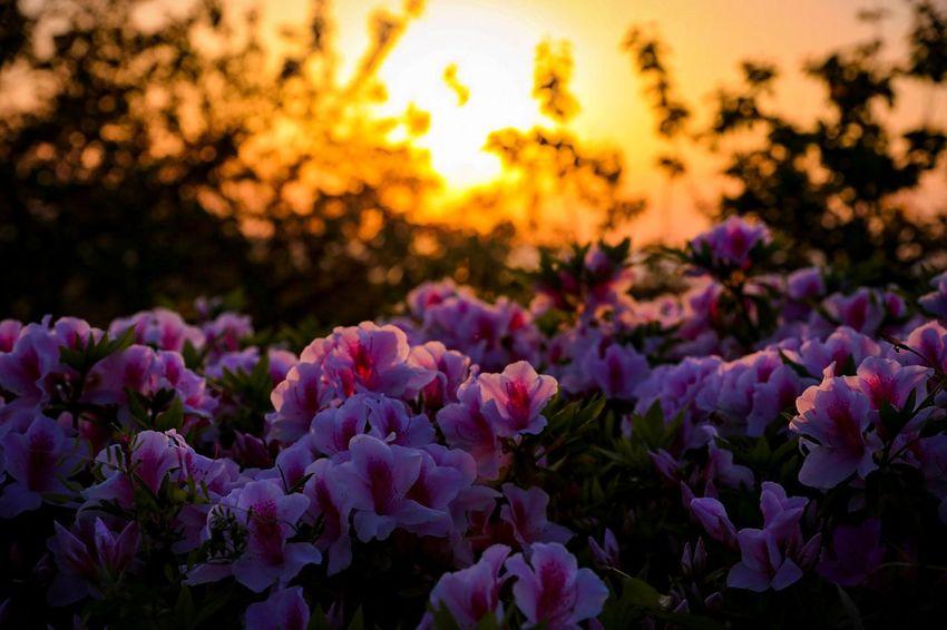 Purple Flower Sunset Plant Nature Beauty In Nature Sun Close-up Japan Canon 6D