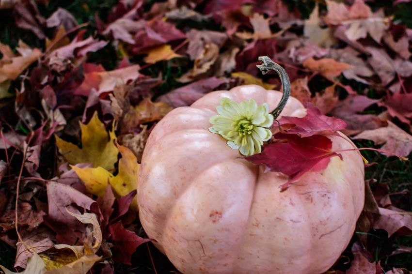 Pink Pumpkin flat lay on autumn leaves Thanksgiving Halloween Flat Lay Autumn Plant Part Food Food And Drink Leaf Freshness Vegetable Healthy Eating Nature Close-up No People Wellbeing Pumpkin Red Growth Beauty In Nature Outdoors Flower Organic