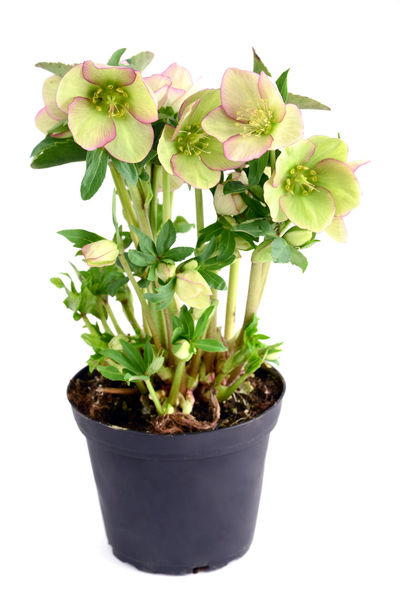 green pink Hellebore (Helleborus niger) in flowerpot on white isolated background. Hellebores Helleborus Helleborus Niger Isolated Flower Green Color Growth Hellebore Isolated On White Isolated White Background Leaf Plant Potted Flower Potted Plant Potted Plants Studio Shot White Background
