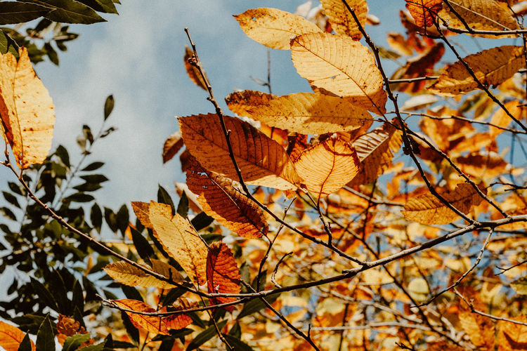 Close-up of maple leaves on tree against sky