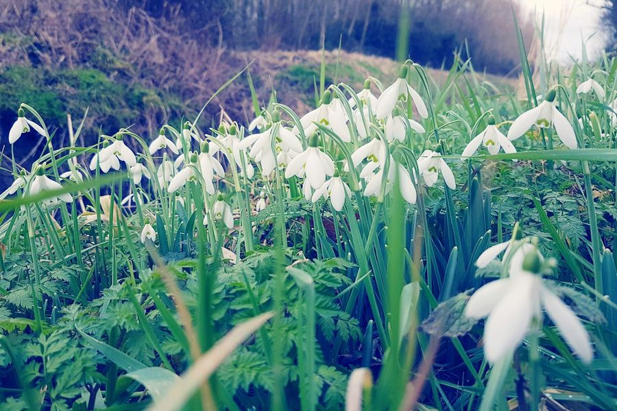 Floral aggregation Growth Nature Beauty In Nature Field Plant Tranquility Green Color No People Flower Rural Scene Agriculture Day Freshness Outdoors Close-up Signs Of Spring Winter Nature Wintertime Snowdrops Flower Head Clump White Flower White Flowers Winter Fragility