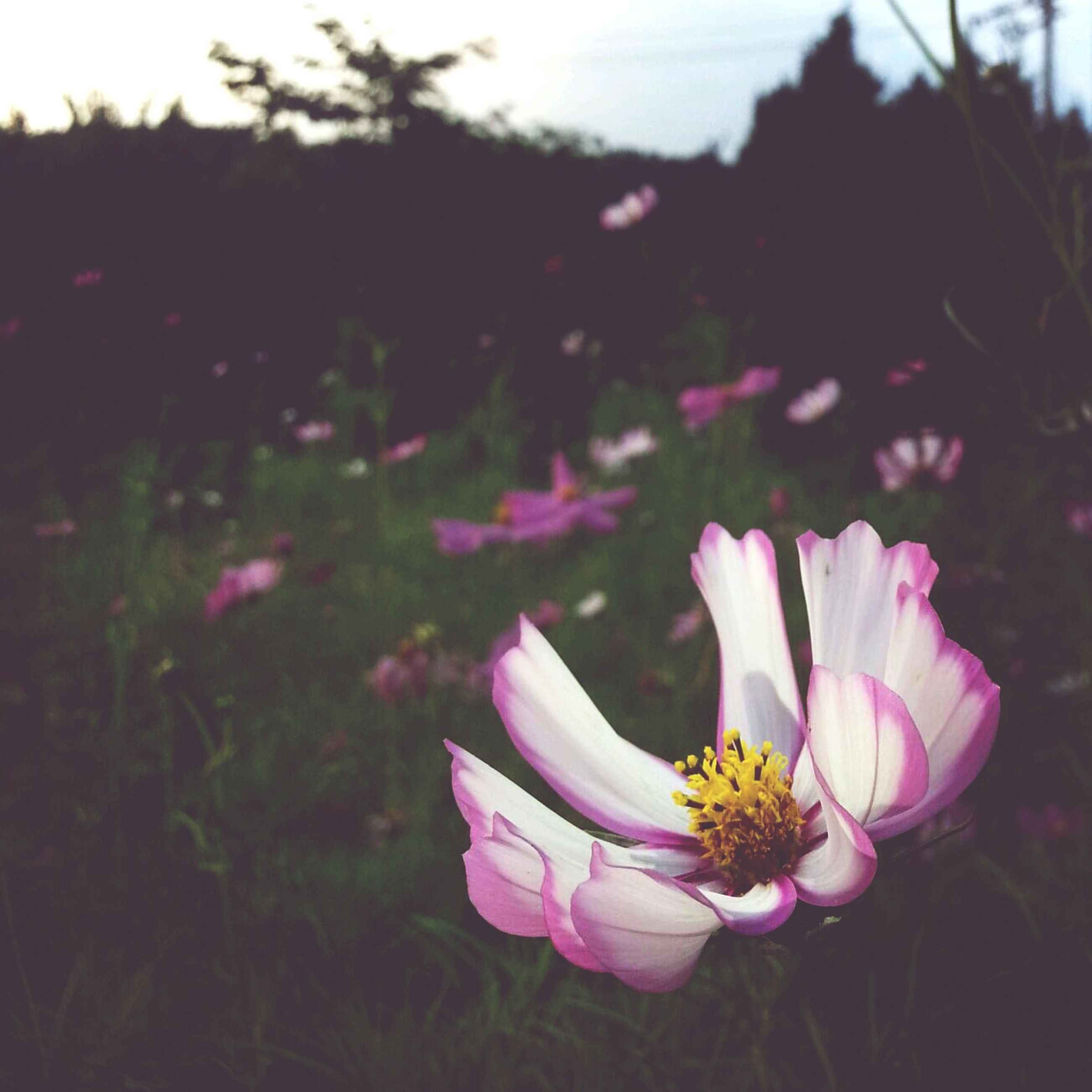 flower, petal, fragility, flower head, freshness, focus on foreground, beauty in nature, growth, close-up, pink color, blooming, nature, single flower, plant, field, pollen, stem, in bloom, selective focus, outdoors