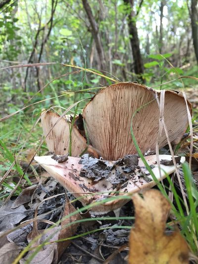 Tree Land Plant Mushroom Forest Nature Fungus Growth Toadstool Day No People Field Vegetable Wood - Material Close-up Food Selective Focus Outdoors Focus On Foreground Plant Part WoodLand