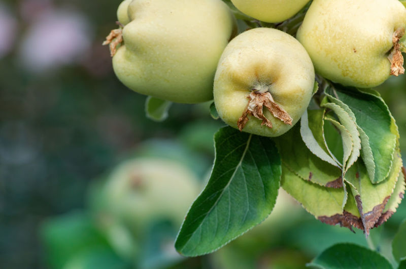 Apples Apple - Fruit Beauty In Nature Close-up Focus On Foreground Food Freshness Fruit Green Color Growth Healthy Eating Leaf Nature No People Plant Plant Part Wellbeing
