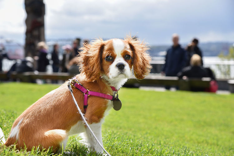 Cute cavalier king charles wearing harness and leash sitting on green grass at public park.