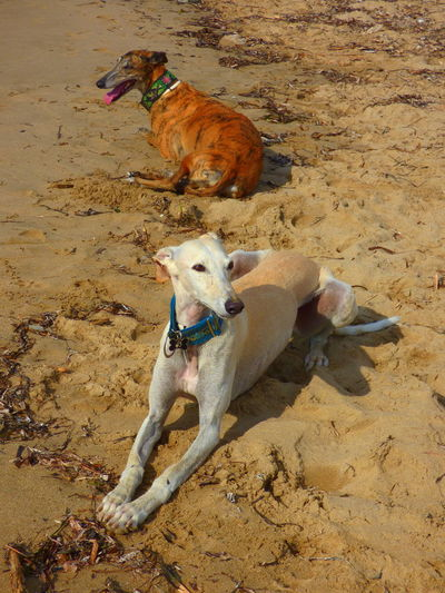 High angle view of dogs relaxing at beach