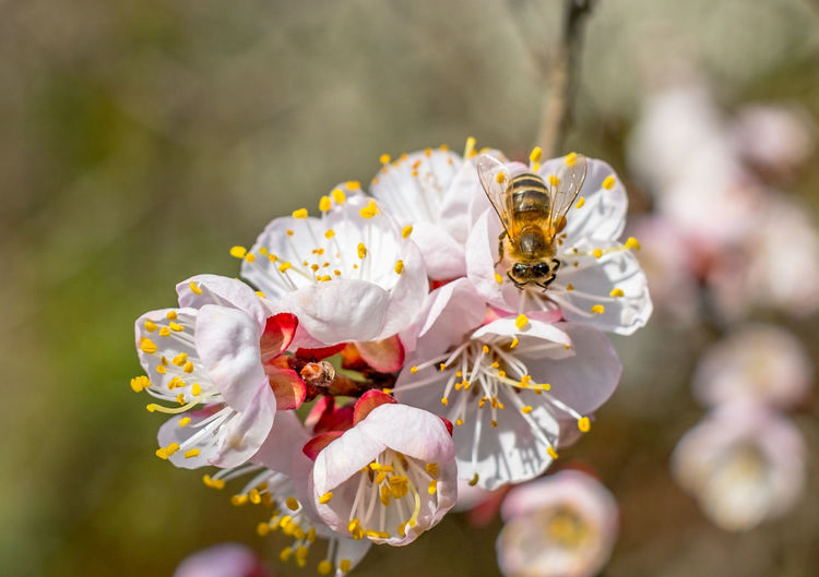 Bee at work on a apricot blossom during spring Apricot Tree Apricot Flowers Spring Has Arrived Animal Themes Animals In The Wild Beauty In Nature Bee Bee And Flower Bee On The Flower Close-up Day Flower Flower Head Focus On Foreground Fragility Freshness Growth Honey Bee Insect Nature No People One Animal Outdoors Petal Pollen Pollination Spring Flowers Springtime