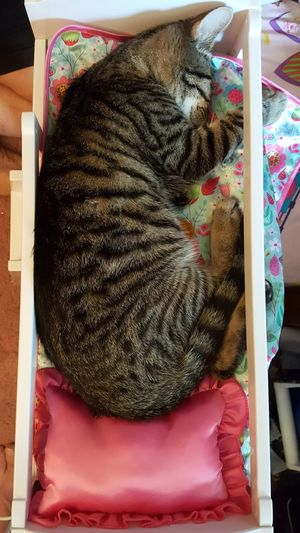 Cat nap in doll bed Indoors  No People Close-up Furry Fluffy Sleeping Cat Feline Animal Themes Pets Bed Pillow Doll Furniture