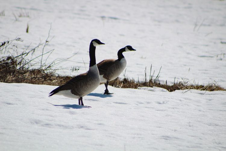Spring Swedish Nature Two Animals Couple Animal Couple Outdoors Sweden Nature Sweden Wild Wild Animals Bird Snow Winter Animal Themes Wilderness Canada Goose Goose Geese Frozen Water Bird