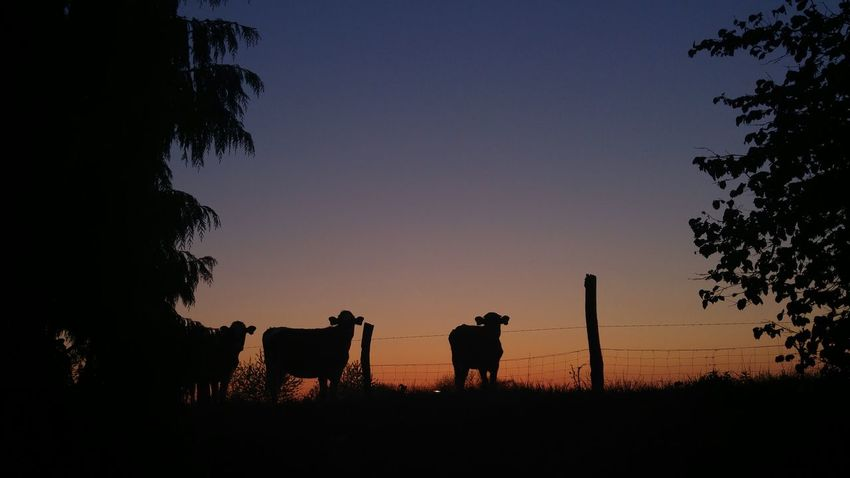 Cows Animal Themes Nature Garden Neighborhood Cowgirl Outdoors Sky Togetherness Curiosity