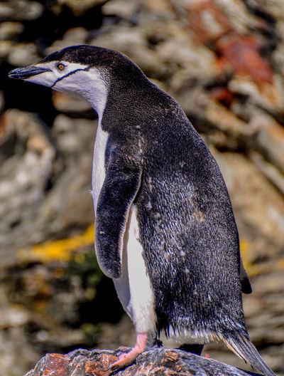 Full length of adelie penguin on rock