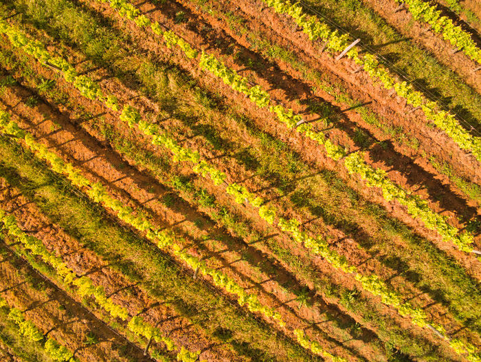 View from above vineyard field Full Frame Backgrounds Agriculture Pattern Beauty In Nature Field No People Growth Nature Plant Farm Land Green Color Rural Scene Day Environment High Angle View Landscape Tranquility Outdoors Layered Vineyard Vine - Plant Vineyards  Aerial View Aerial Photography EyeEm Selects EyeEm Best Shots EyeEm Nature Lover EyeEm Gallery