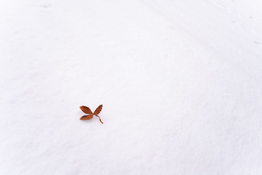 Dead but still beautiful leaf on snow No People White Color Snow Nature Cold Temperature Beauty In Nature Winter Copy Space White Background Outdoors Leaf Dead Leaf Orange Color Single Life Beautiful Beauty In Nature