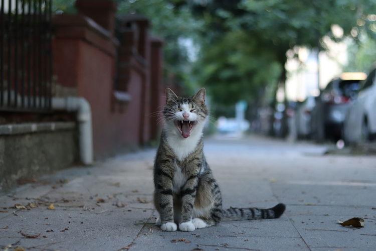 Cat yawning on street