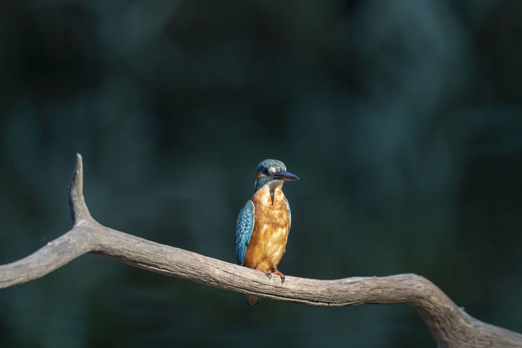 Common kingfisher, alcedo atthis. the bird sitting on a branch above the water with copy-space.