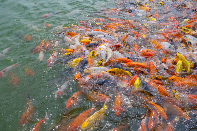 Tilapia and koi fish/fancy carp fish swimming waiting for food in the pond