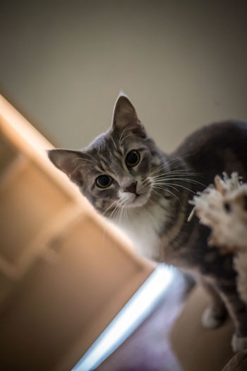 I have fur and big eyes 😸 Kitten Pets Portrait Feline Domestic Cat Looking At Camera Sitting Whisker Cute Close-up Fluffy Maine Coon Cat Tabby Cat Ginger Cat Persian Cat  Animal Hair