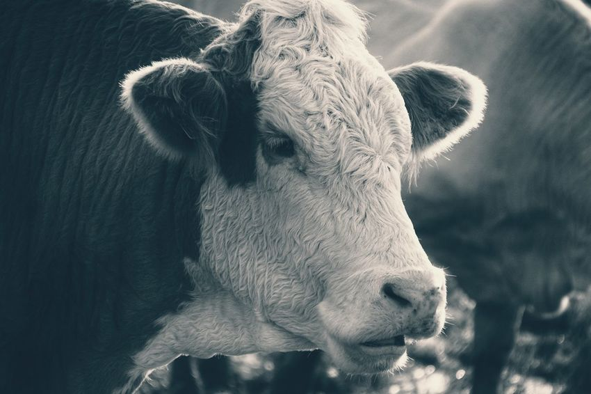 Niklas Storm Okt 2018 Portrait Close-up Livestock Tag Cattle Animal Pen Domesticated Animal Tag Farm Animal Livestock HEAD Cow