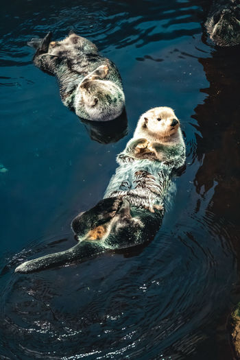 High angle view of otter in sea
