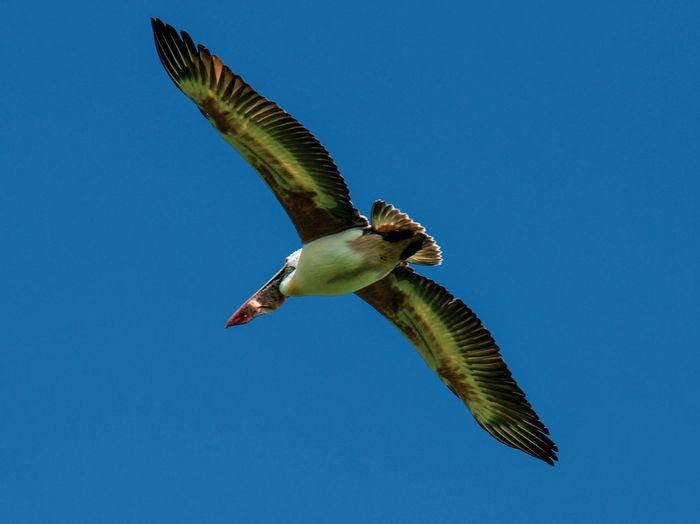 Storks and Pelicans EyeEmNewHere Vedanthangal Bird Flight Flying Pelican Sky Stork Be Brave
