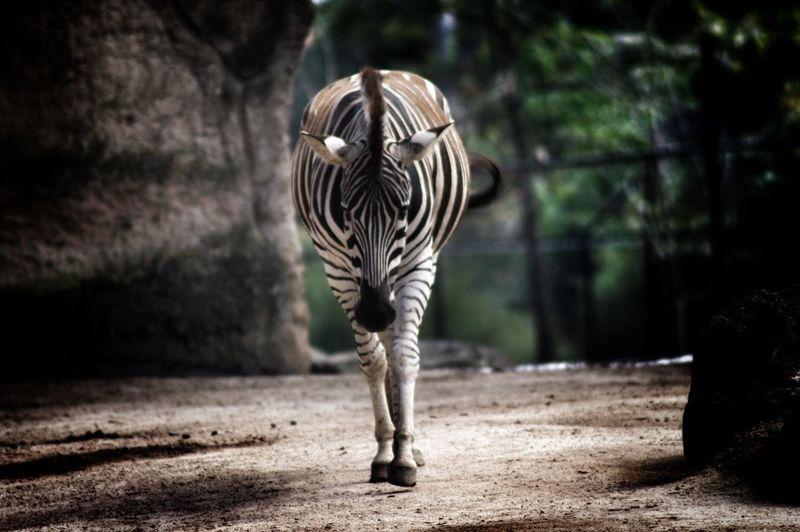 Zebra Walking At Zoo