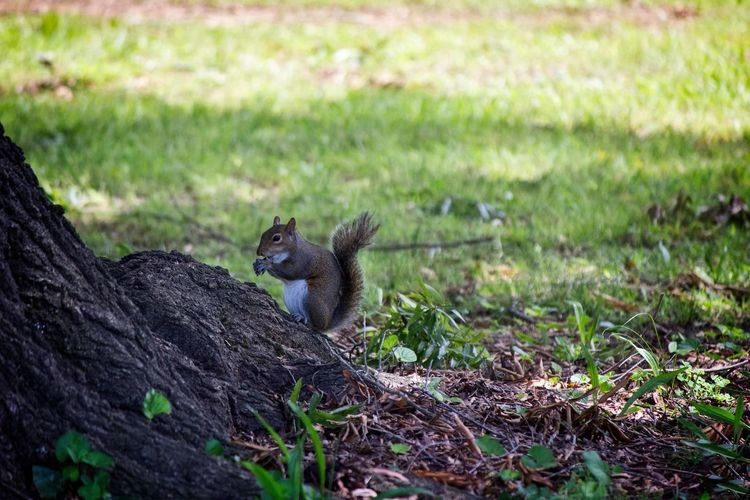 Squirrel Eating a Nut Squirrel Animal Themes Animal Wildlife Animals In The Wild Day Mammal Nature No People One Animal Outdoors Squirrel Eating Nut